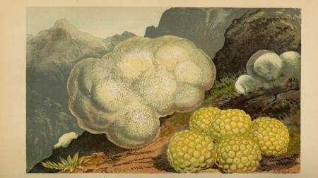 Vegetable Sheep.